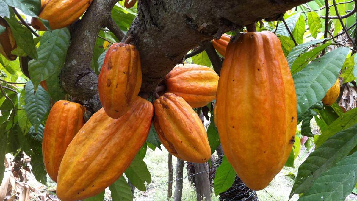 Producción de cacao tendría superávit este año según la ICCO