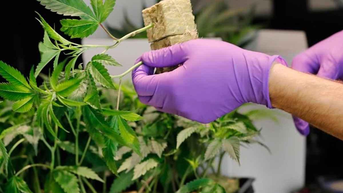 Cannabis: buscan legalizar su producción y consumo en España