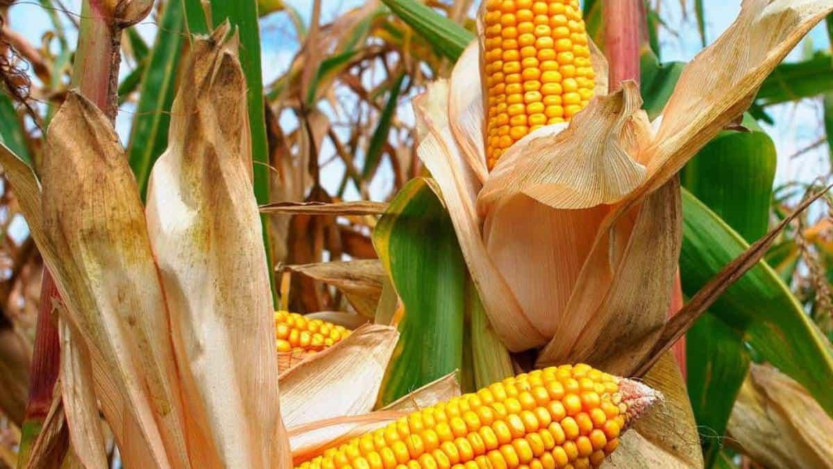 Cosecha de maíz en China se ve afectada por fuertes lluvias